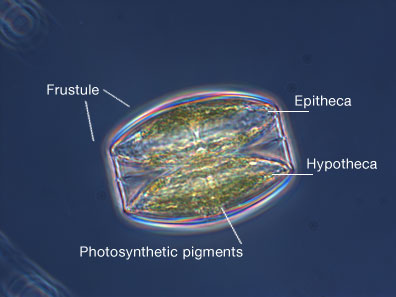 are a type of phytoplankton that are encased with unique silica cell    Diatom Cell