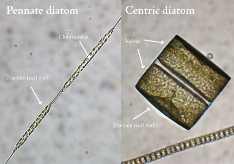 diatoms and dinoflagellates